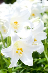 Blooming of easter lily in the flower garden