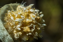 blooming onion close-up