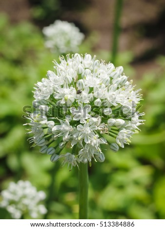 stock-photo-blooming-onion-flower-with-n
