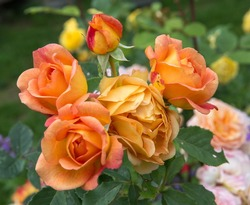 Blooming orange English rose in the garden on a sunny day. Rose 'Lady of Shalott'