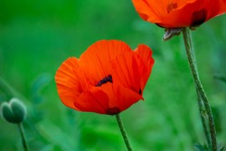 Blooming orange flower of oriental poppy on a green background macro photography on a summer day. Large papaver orientale with red petals close-up photo in summertime.