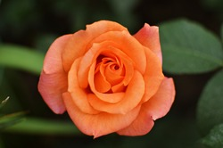 blooming orange rose growing in the garden close up