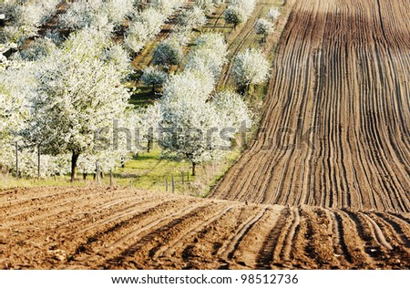 blooming orchard in spring with a field, Czech Republic