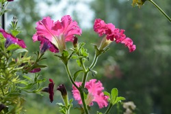 Blooming petunia in balcony greening. Bright pink flowers with frilly edges