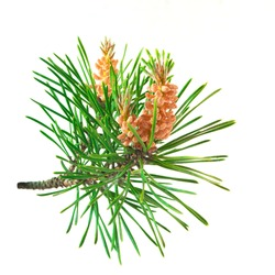 Blooming pine tree branch on a white background. Scots pine branches with yellow pollen-producing male cones.