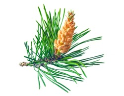 Blooming pine tree branch on a white background. Scots pine branches with yellow pollen-producing male cones. Coniferous essential oil is used for medicinal purposes.