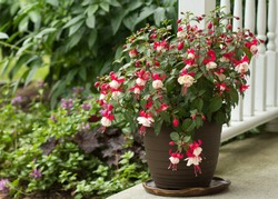 Blooming pink and white fuchsia