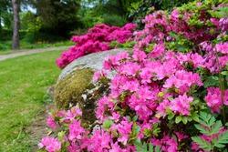Blooming pink Azaleas Rhododendron garden background.