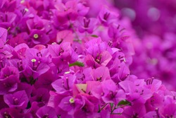 Blooming pink Bougainvillea spectabilis looks like a wall