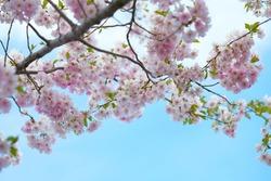 Blooming Pink Cherry blossom against blue sky - Sakura