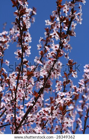 Blooming Pink Cherry Tree Flowers in Spring Time
