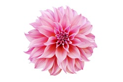 Blooming Pink Dahlia Flower Isolated on White Background