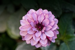 Blooming pink dahlia in the garden. Dahlia is a genus of bushy, tuberous, herbaceous perennial plants native to Mexico.
