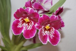 Blooming pink - purple orchid hybrid. Close-up of Miltoniopsis flower in blossom. Close-up of orchid. Isolated