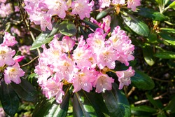 Blooming pink rhododendron, Haaga Rhododendron Park, Helsiki, Finland