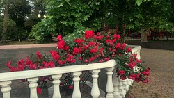 Blooming pinkish red rose shrub over a white balustrade in an old park. Prolifically flowering pinkish red rose shrub over a white columns parapet in a public park in summer.