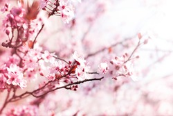 Blooming plum garden  Natural  spring background.