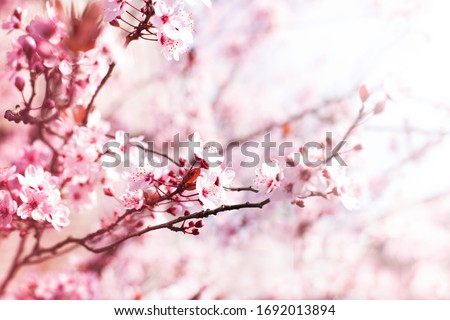 Blooming plum garden  Natural  spring background. Сток-фото ©