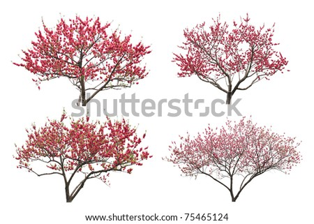 Blooming plum tree, isolated on white background.