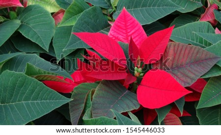 Blooming poinsettia in the farm. The poinsettia is particularly well known for its red and green foliage and is widely used in Christmas floral displays.