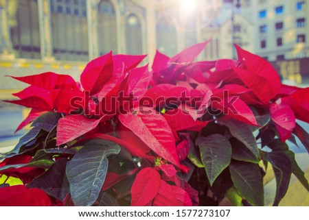 Blooming poinsettia or spurge the finest