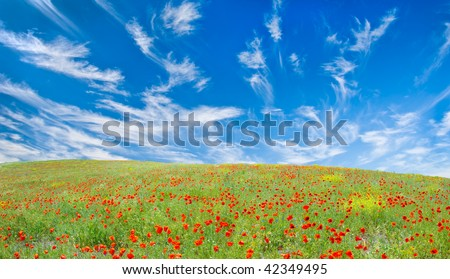 Blooming poppy meadow, the sky with fleecy clouds over it