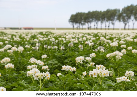 Blooming potato field in the Netherlands photographed with shallow depth