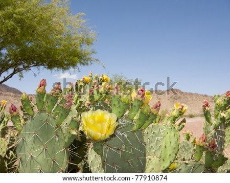 Blooming Prickly Pear Cactus and Mesquite Tree in Spring Desert, Arizona.