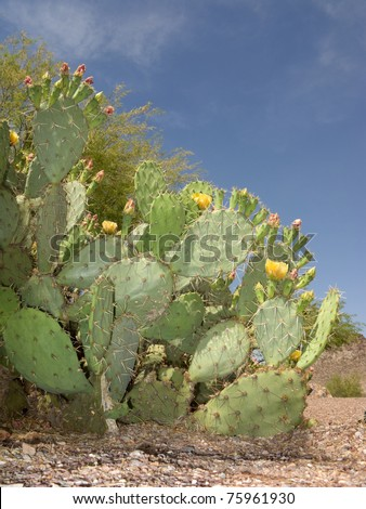 Blooming Prickly Pear Cactus in Spring Desert, Arizona. - stock photo