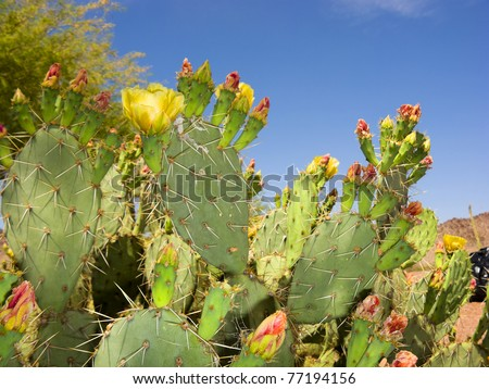 Blooming Prickly Pear or Paddle cactus with yellow flowers in Spring desert, Arizona