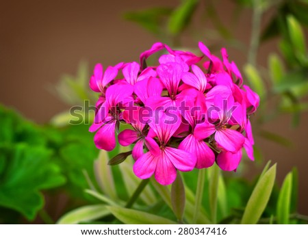 Blooming Primula with lots of bright pink flowers in the inflorescence. Presented on a dark background surrounded by green leaves.