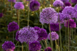 Blooming purple allium flowers (allium cristophil) and yarrow on evening day in the garden. Concept of gardening, the cultivation of bulbous plants.