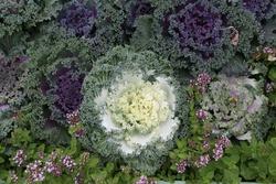 Blooming purple and green brassica oleracea var acephala flowers. Autumn ornamental plant, look like purple flowers in bloom, known as ornamental cabbage. Green, purple leaves. Fall season in garden