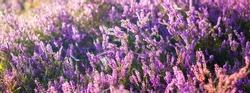 Blooming purple and pink heather flowers Calluna vulgaris, spider web. Panoramic image. Pure nature, botany, gardening, environment, ecology