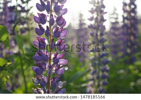 Blooming purple flowers of tufted vetch in summer field. Vicia cracca.