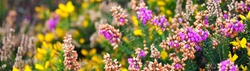 Blooming purple heather and yellow gorse flower close-up. Nature of Brittany, France. Abstract natural floral pattern, texture, background, wallpaper, panoramic image. Wildflowers, macro photography