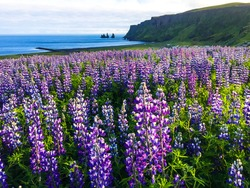 Blooming purple lupin meadow in Vik, Iceland. Summer time. Top travel destination in Iceland. Wild flowers blossoming in rural landscape. Beautiful nature with ocean in the background