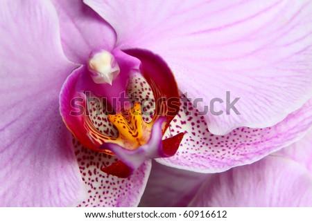 Blooming purple orchids flower. Phalaenopsis. Closeup.