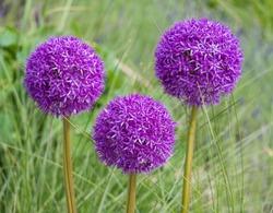Blooming purple ornamental onion Allium hollandicum, Purple Sensation against the green grass background