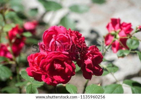 Blooming purple red rose flower bush closeup on paved park surface as natural floral background #1135960256