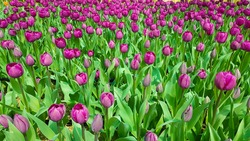 Blooming purple tulips in green foliage. Magenta tulips. Tulips backdrop. Tulips background. Floral backdrop.
