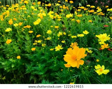Blooming Range of Yellow cosmos or Sulfur cosmos (Cosmos sulphureus) flower.