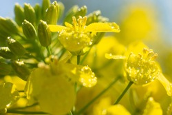 Blooming rapeseed (Brassica napus) field in Poland. Macro shot on flowers. Closeup.