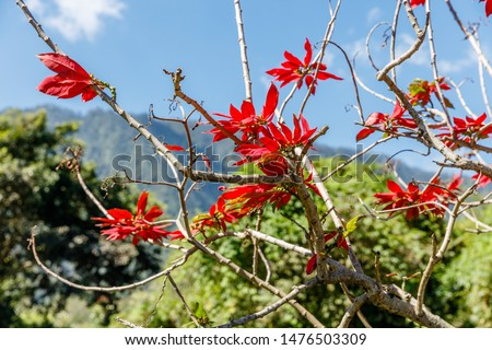 Blooming red Poinsettia tree, blue sky on the background. Bali, Indonesia.
