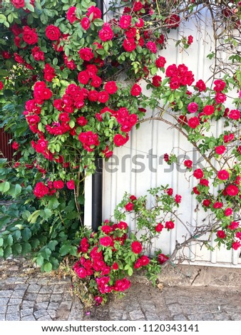 Blooming red roses on wall of white house corner. #1120343141