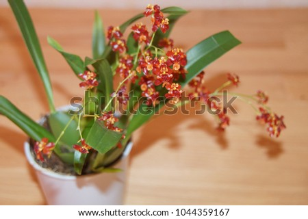 Blooming red, yellow and orange mini orchid hybrid oncidium twinkle with green leaves und healthy bulbs in a pot