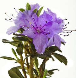 Blooming Rhododendron (Azalea) close-up isolated on a white background