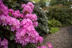 Blooming Rhododendron bush, beautiful pink Rhododendron flowers