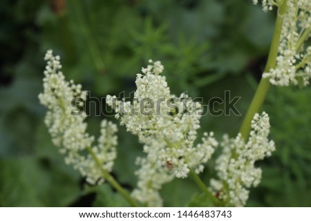 Blooming rhubarb. Rhubarb flower. Rhubarb plant growing in the ground. Inflorescence of flowers on a green background