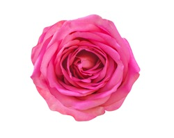 Blooming rose, pink rose flower isolated on white